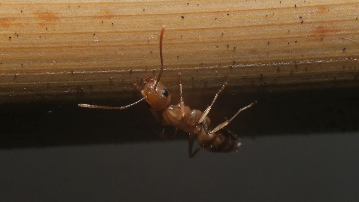 Camponotus sp. Guyane 'Colobopsis' 03 Arbeiterin 03