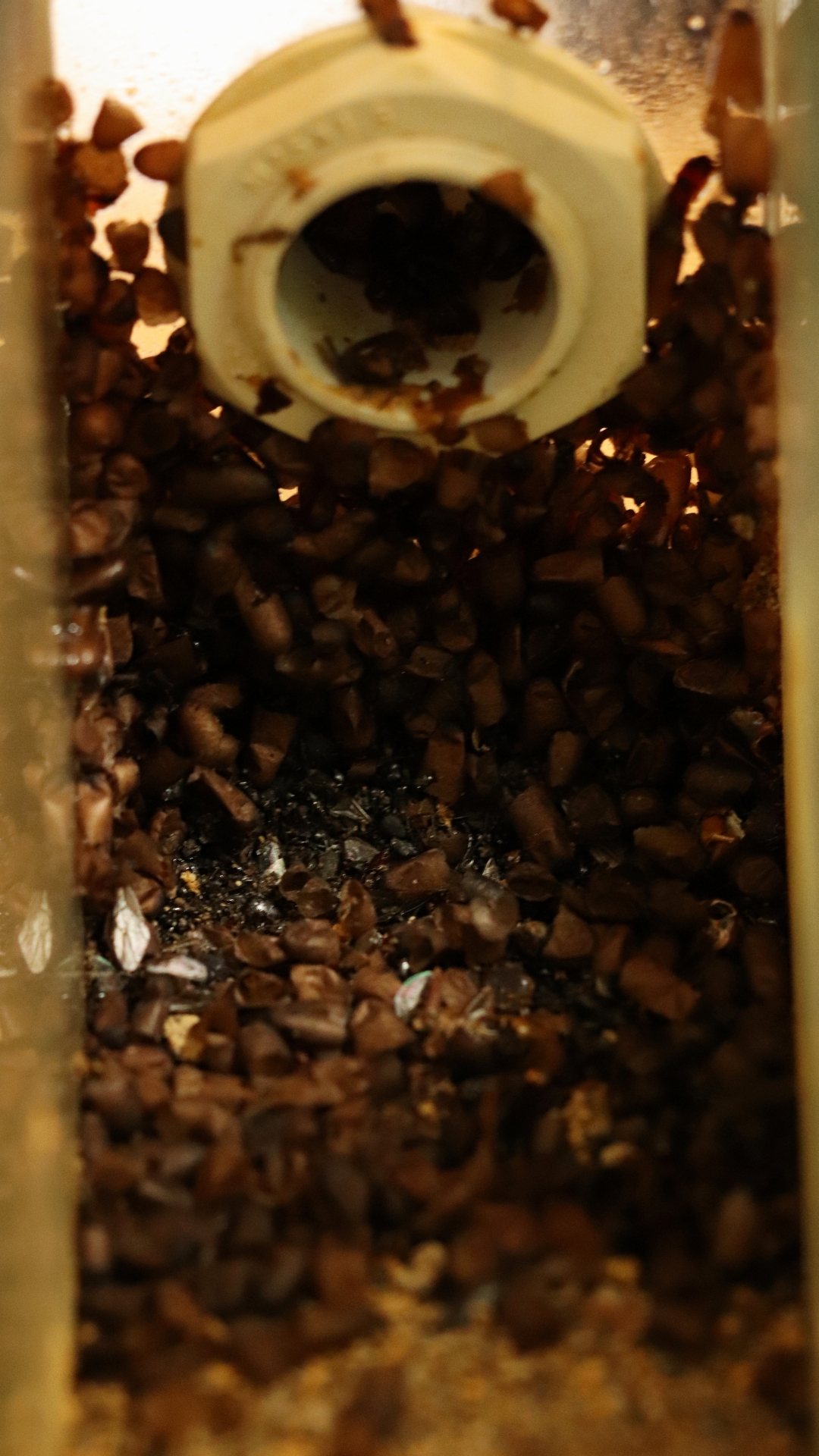 Diacamma cf. rugosum 48 Mülldeponie Nest 01