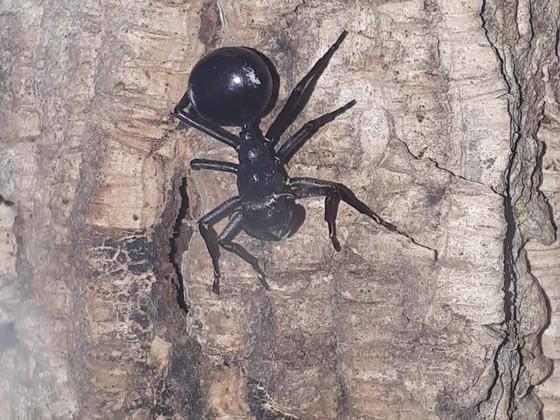 Chephalotes atratus Spider mimicry