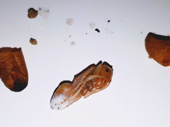 Streblognathus aethiopicus - entsorgte Puppe