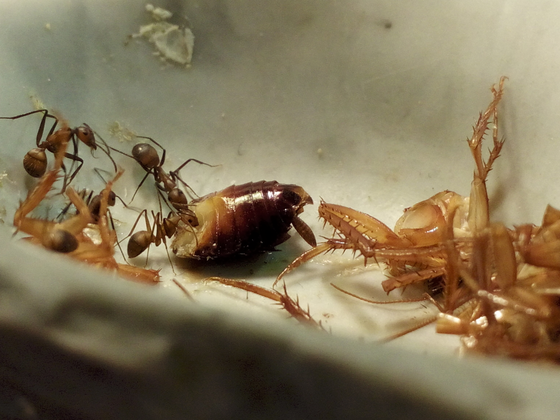 Camponotus nicobarensis [23.04.2017]
