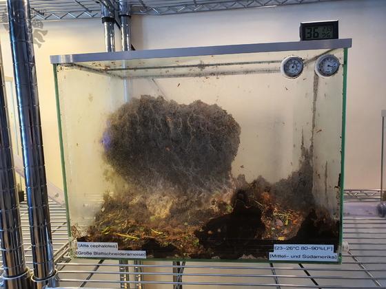 Atta cephalotes Pilzbecken [19.04.20]