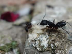 Camponotus sp. nahe Nesteingang