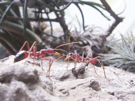 Myrmecia gulosa