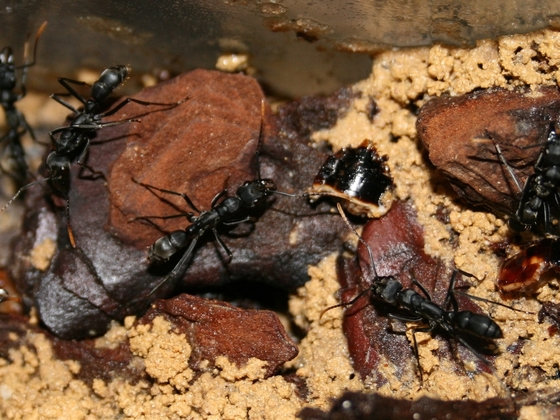 Neoponera apicalis 09 Nest mehrere Arbeiterinnen 02