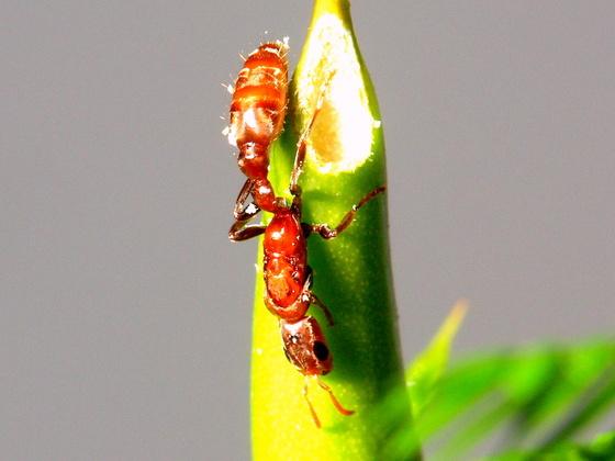 Eine Pseudomyrmex cf. spinicola Königin bei der Besiedelung einer Vachellia (Acacia) cornigera