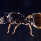 Solenopsis fugax Königin 1-6