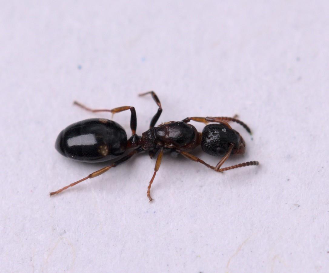 Dolichoderus quadripunctatus Königin 1-6