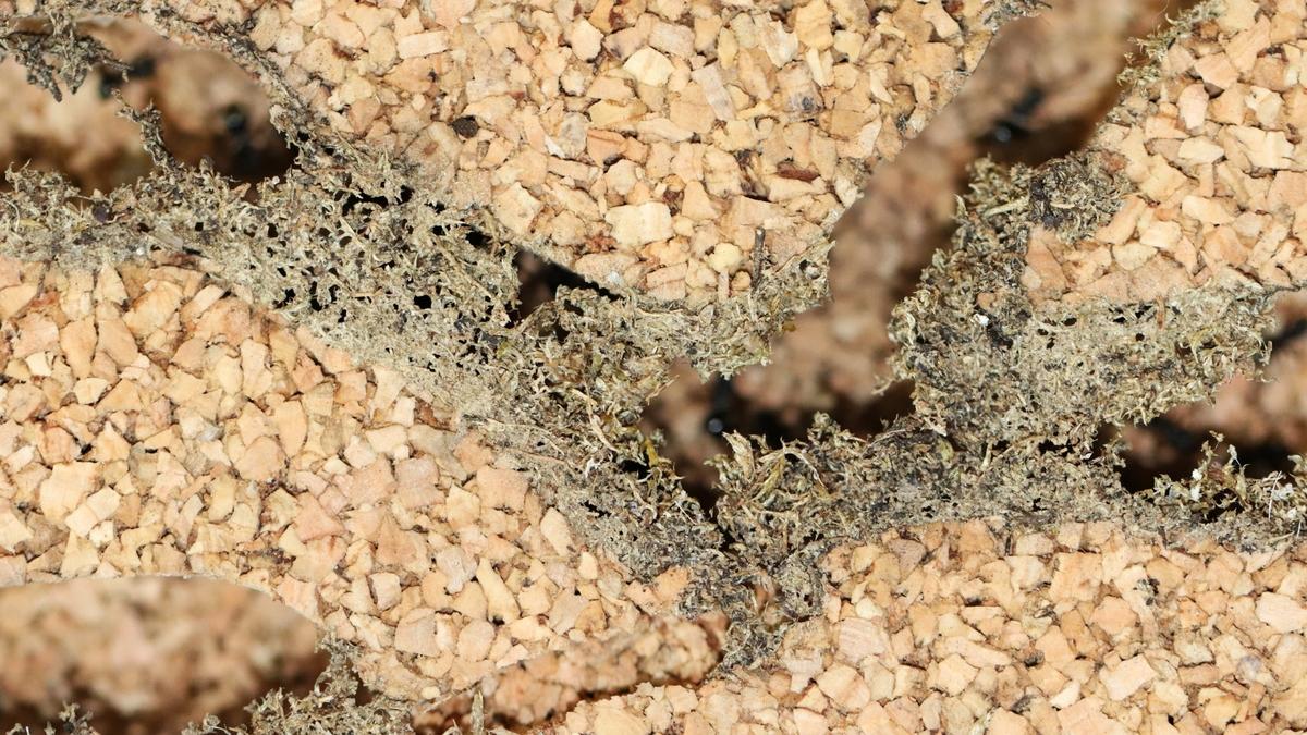 Dolichoderus bispinosus 38 Korknest 03