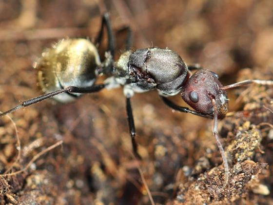 Camponotus sericeus 12 unbegattete Gyne 01