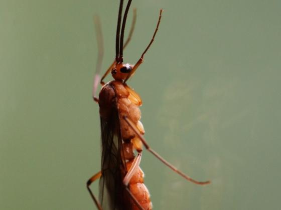 Diacamma scalpratum 05 ein Männchen 01