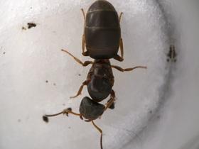 Lasius brunneus Gyne 4