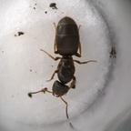 Lasius brunneus Königin 1-2