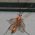 Diacamma cf. rugosum 13 Männchen 04