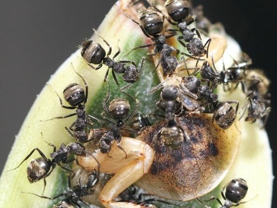 Dolichoderus bispinosus 44 Arbeiterinnen beim Fressen 01