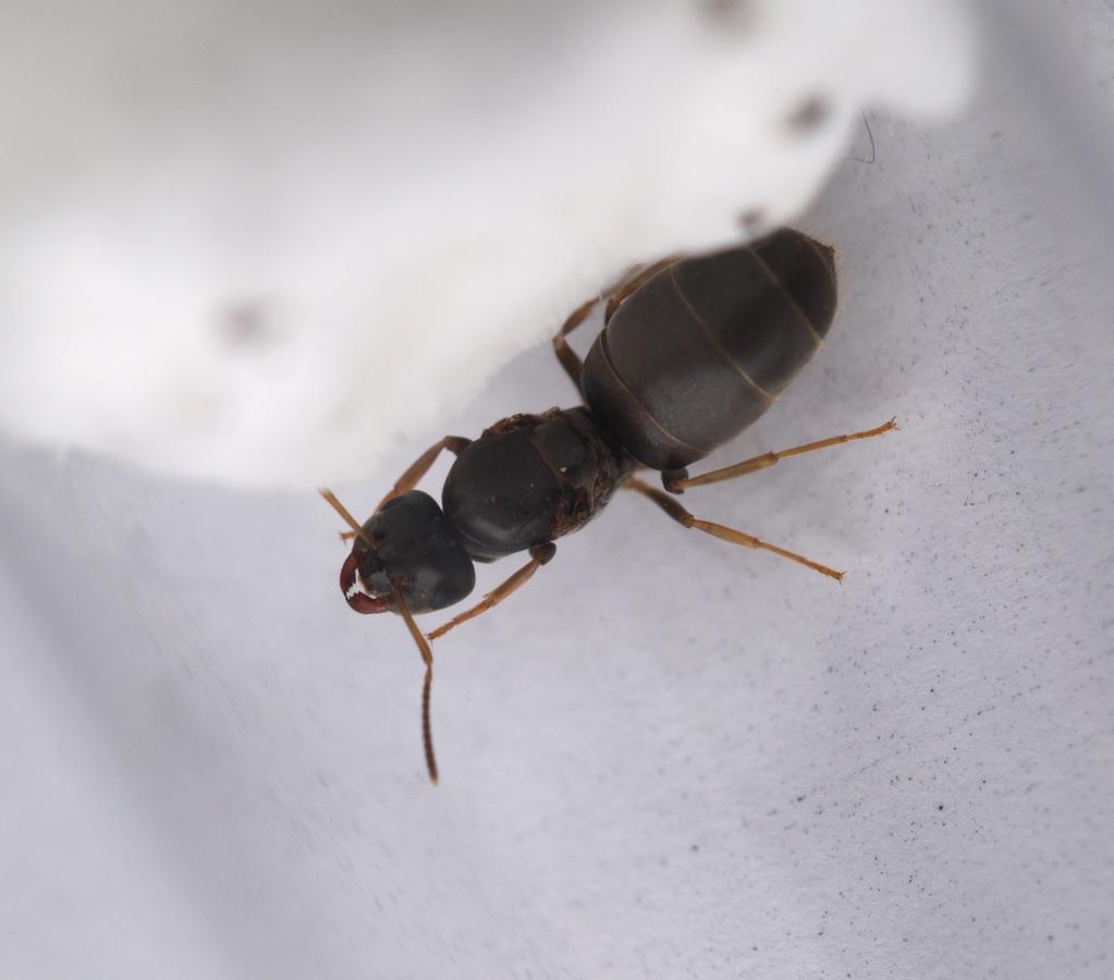 Lasius brunneus Königin 1-6
