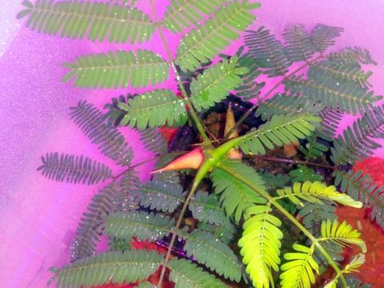 Junge Vachellia (Acacia) collinsii