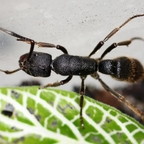 Pseudoneoponera tridentata 09 Arbeiterin 05