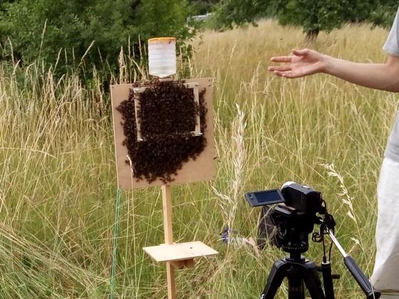 Schwarmverhalten bei Bienen