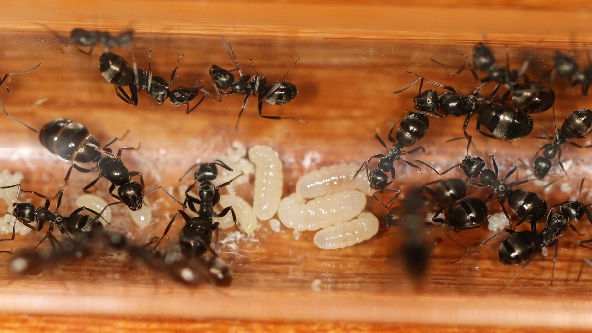 Formica fusca 05 Kolonie im RG nach Milbenbefall 03