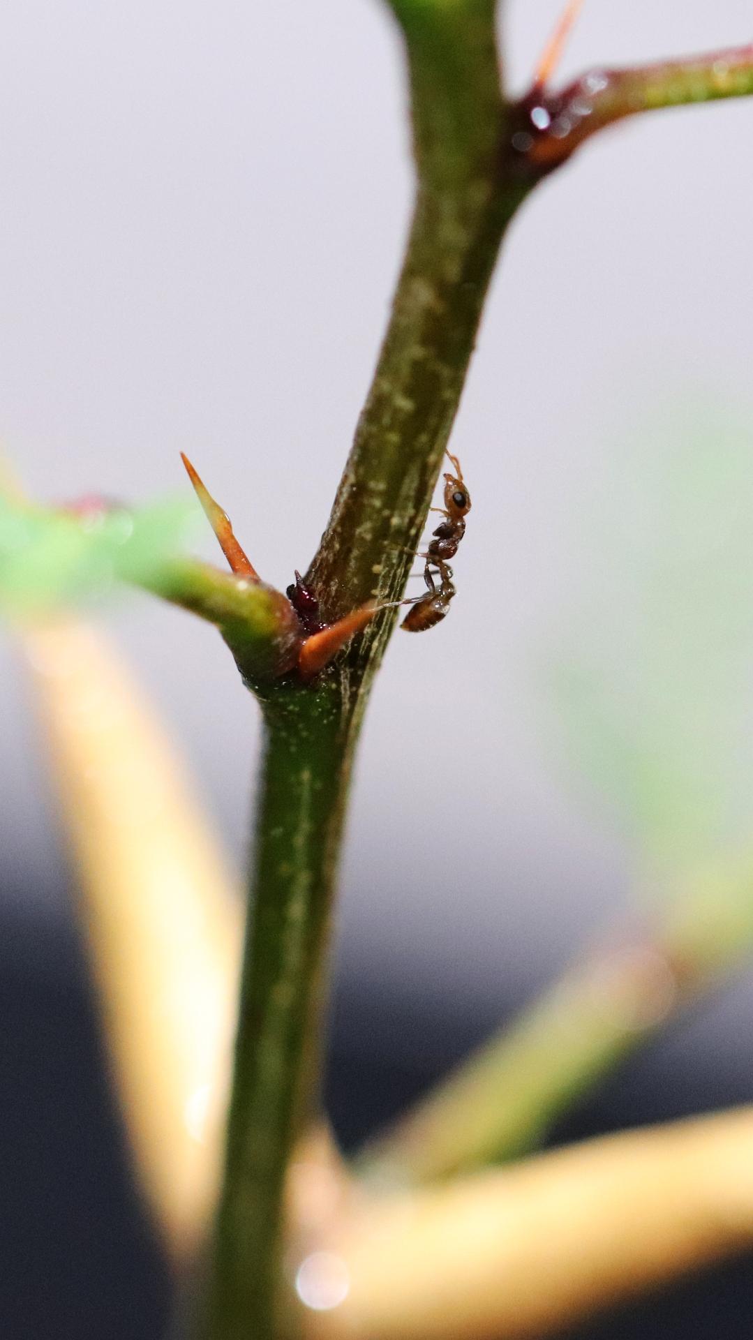 Pseudomyrmex ferrugineus 05 Arbeiterin 05