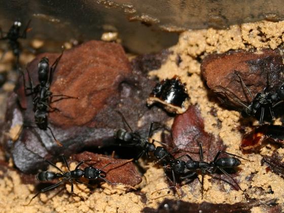 Neoponera apicalis 10 Nest mehrere Arbeiterinnen 03