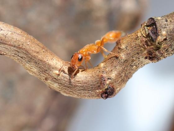 Tetraponera natalensis 02 Arbeiterin beim Klettern 01