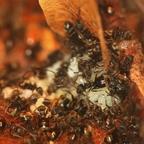 Dolichoderus bispinosus 14 mehrere Arbeiterinnen mit Brut 02
