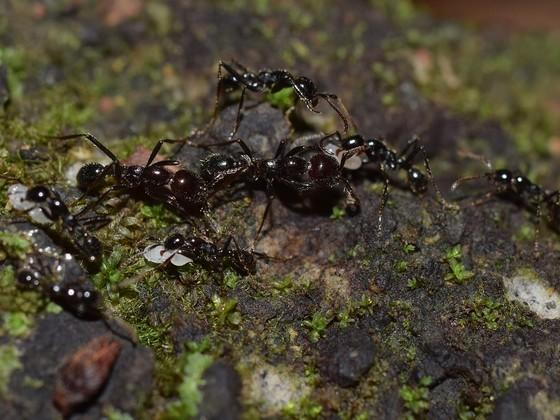 neivamyrmex pilosus