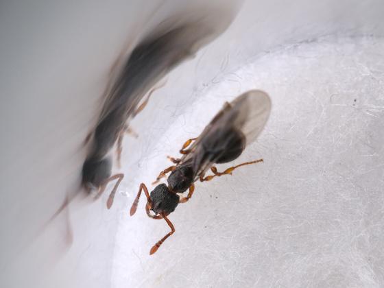 Myrmecina graminicola Königin 1-6