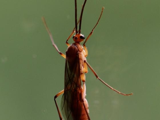 Diacamma scalpratum 07 ein Männchen 03