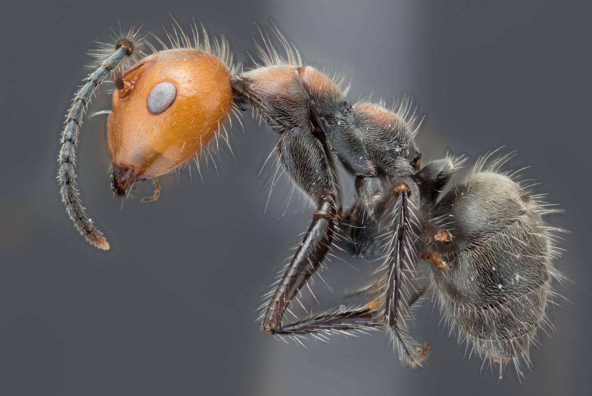 Camponotus cf. urichi