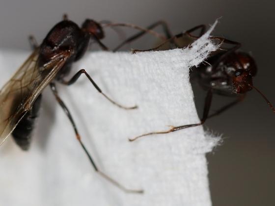 Camponotus sericeus 11 zwei Männchen 04