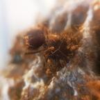 Atta cephalotes Gyne [19.04.20]