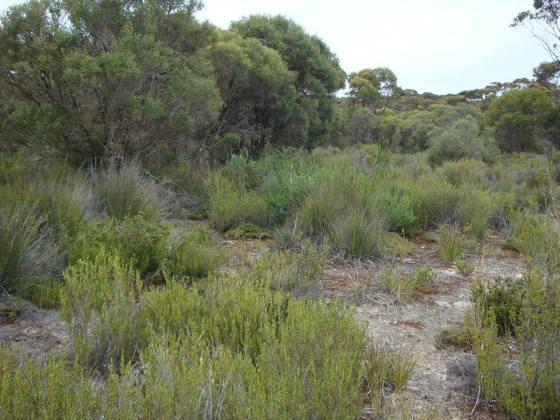 Habitat von Myrmecia mandibularis