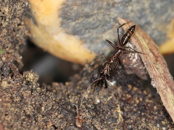 Odontomachus chelifer 03 Arbeiterin 01