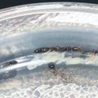 Tetraponera sp. Thailand 01 03 Kolonie im Deckelrand 03