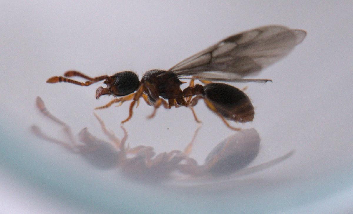 Myrmecina graminicola Königin 1-3