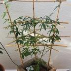 Tetraponera schulthessi 14 Passiflora 02