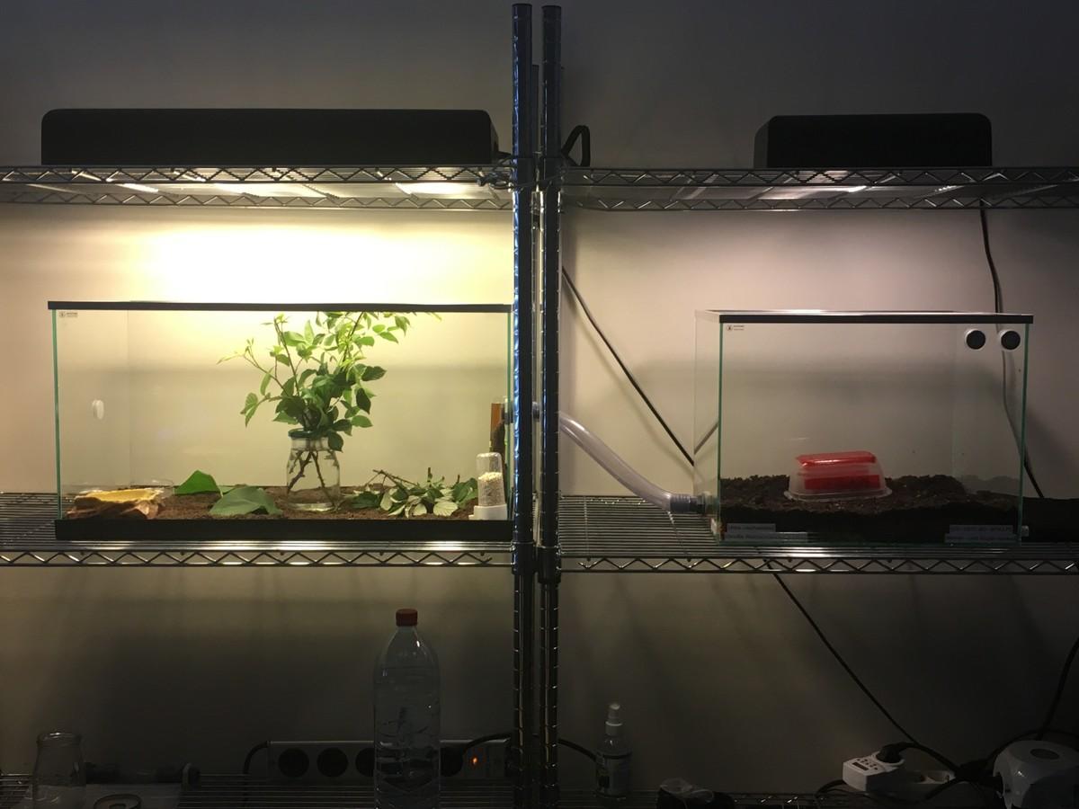 Atta cephalotes Setup 1 [06.08.19]