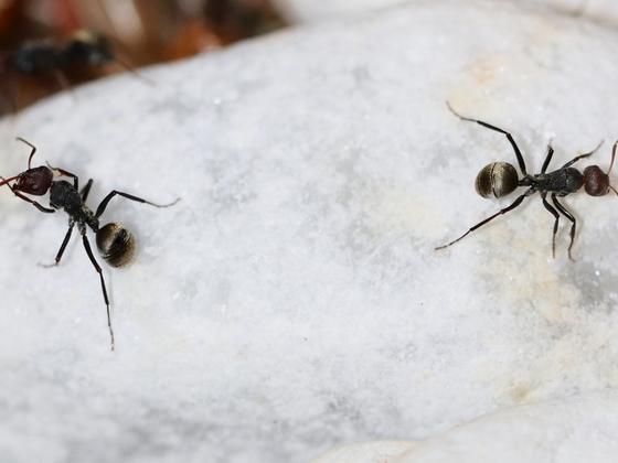 Camponotus sericeus 07 zwei Arbeiterinnen auf Stein 01