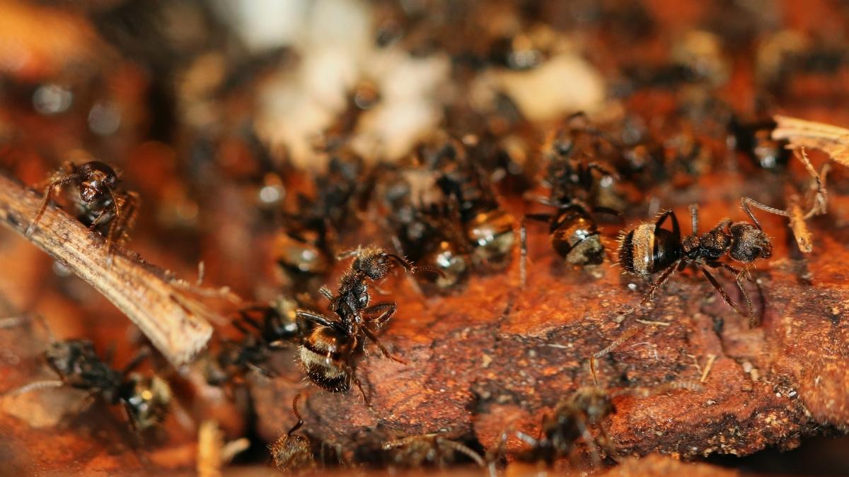 Dolichoderus bispinosus 09 mehrere Arbeiterinnen 02