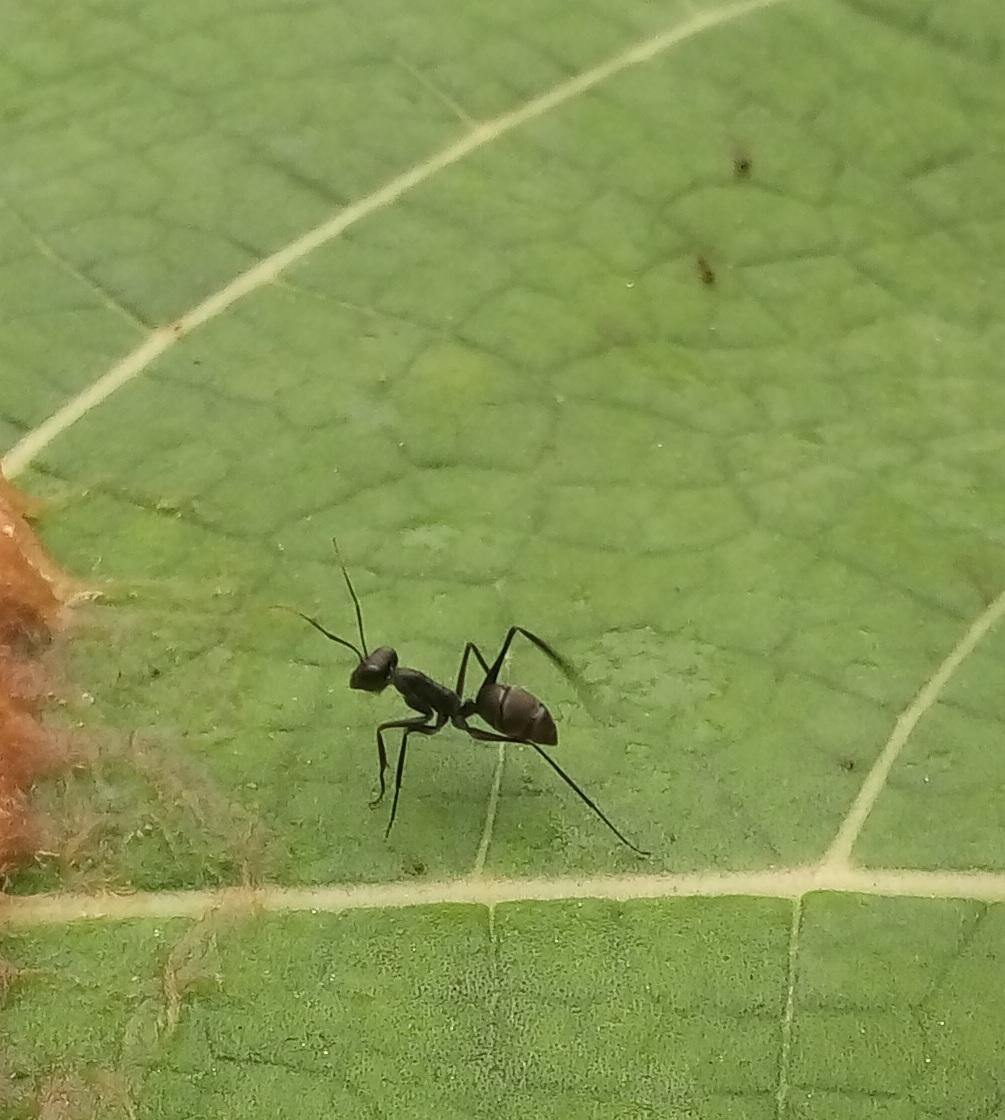 Gigantiops on leaf