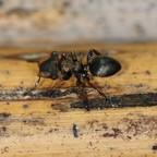 Cephalotes spinosus 01 Arbeiterin 01