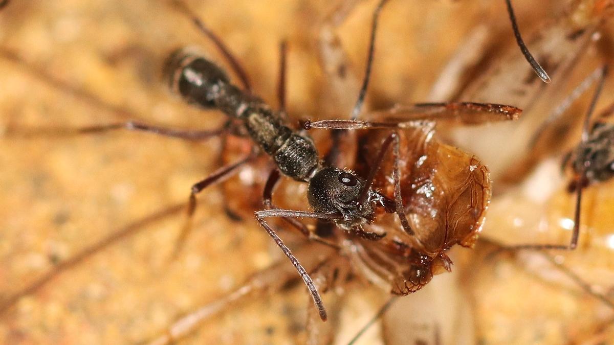 Diacamma cf. rugosum 31 mehrere Arbeiterinnen beim Fressen 03