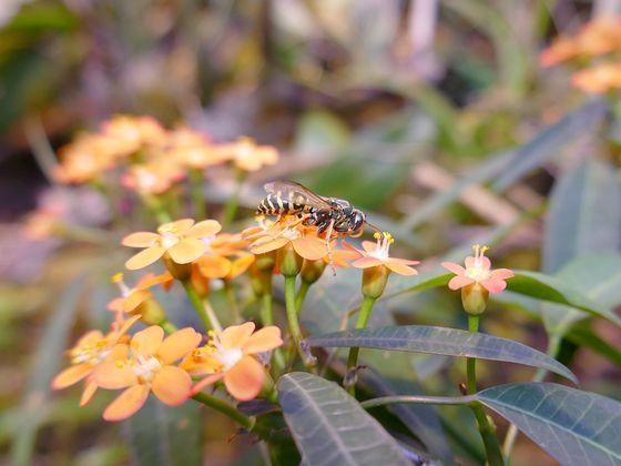 Wespenmännchen Polistes nimpha
