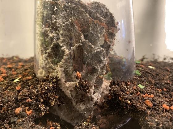 Atta cephalotes 12.10.19