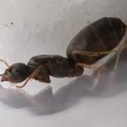 Lasius brunneus Königin 1-1