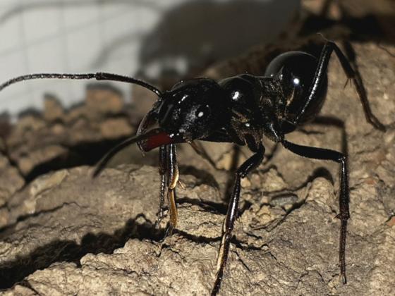Streblognathus aethiopicus