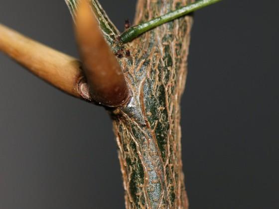 Pseudomyrmex ferrugineus 48 Vachellia cornigera Stammverholzung 01